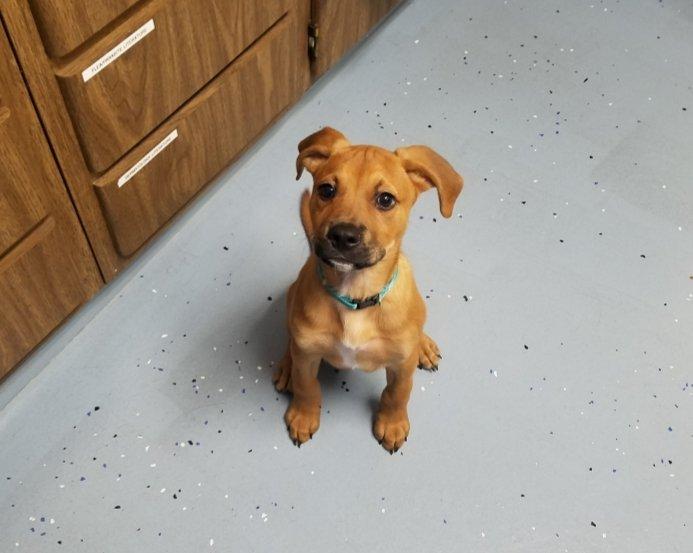 boxer mix puppy sitting