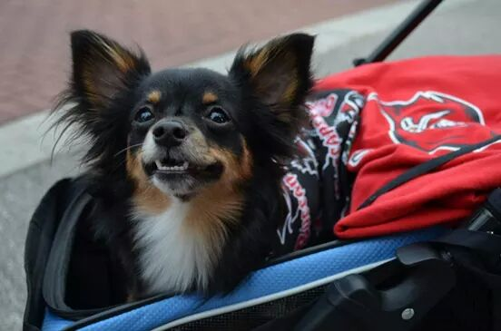 small dog smiling riding in a stroller