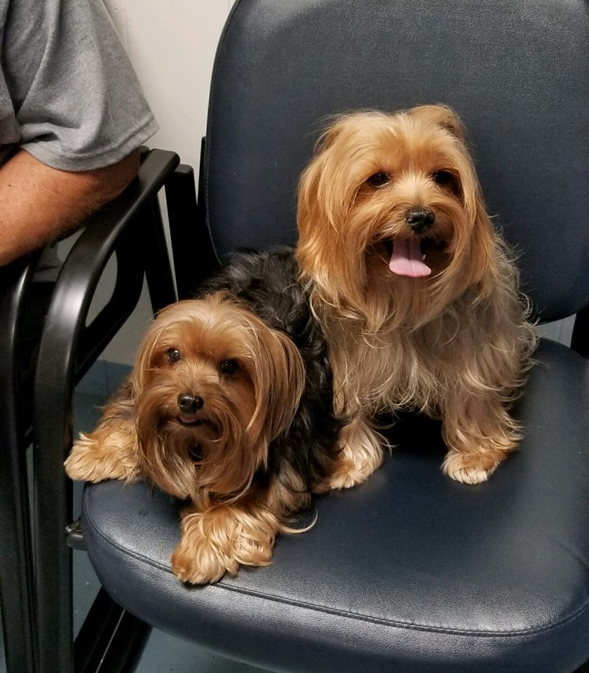 two yorkies sitting in a chair at the vet