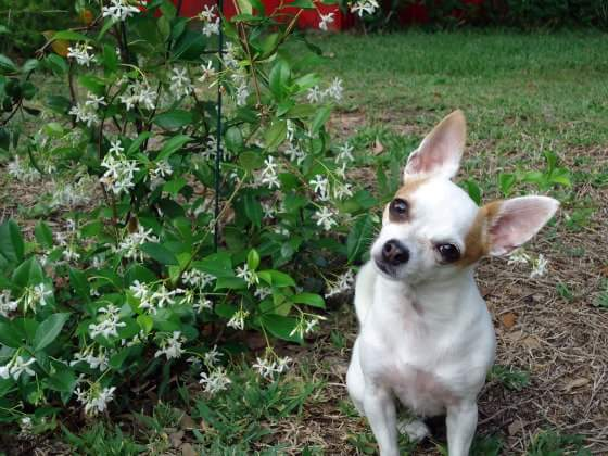 chihuahua sitting outside next to a jasmine plant