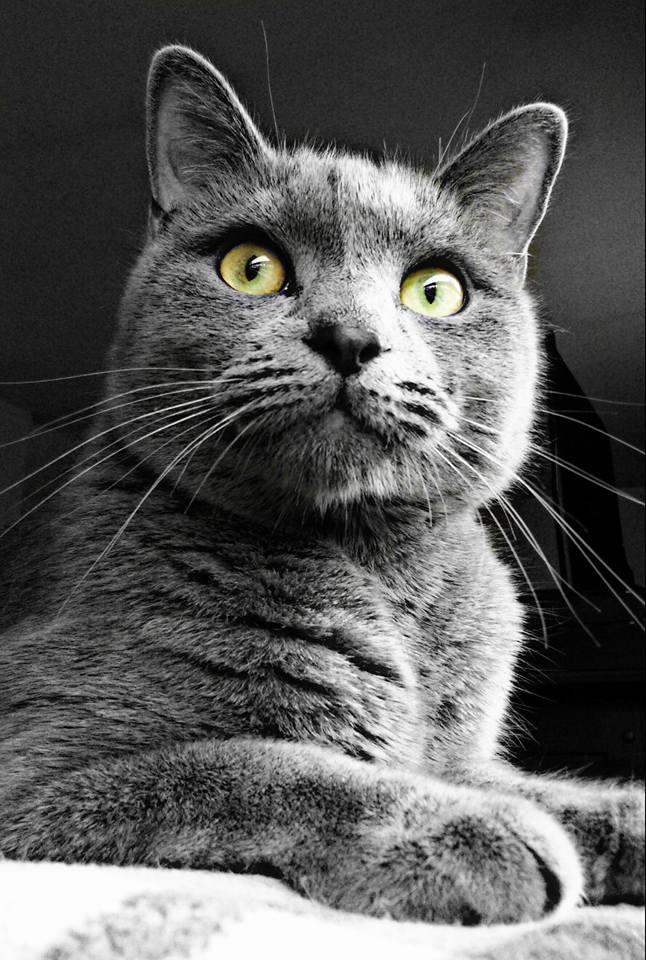 gray cat sitting looking at camera