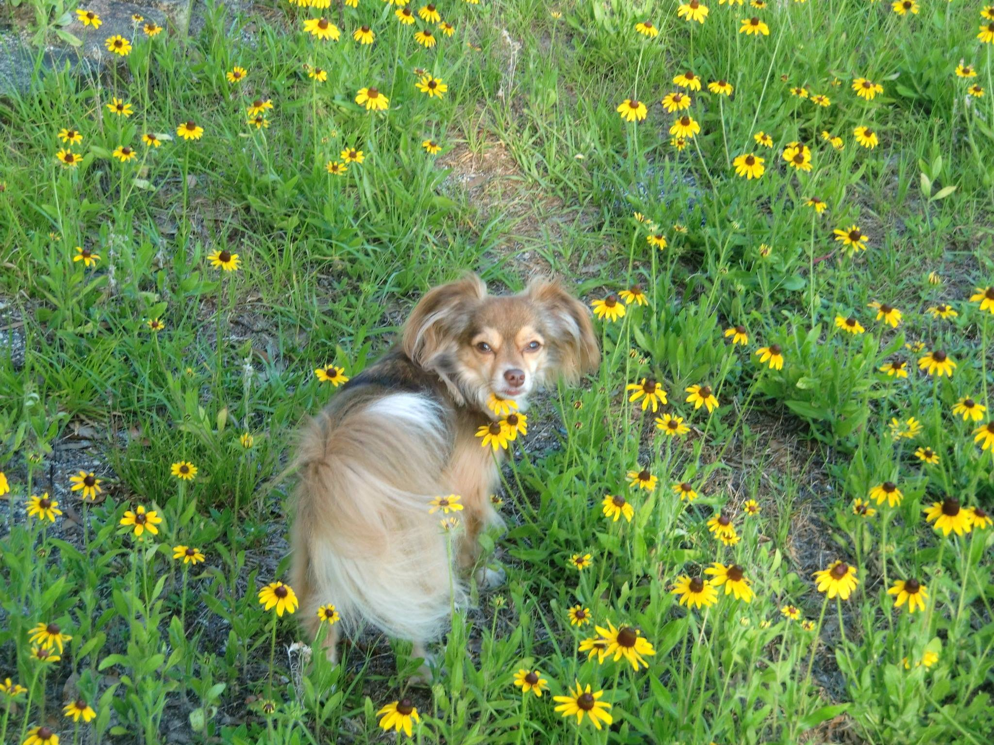 small dog in field of yellow flowers