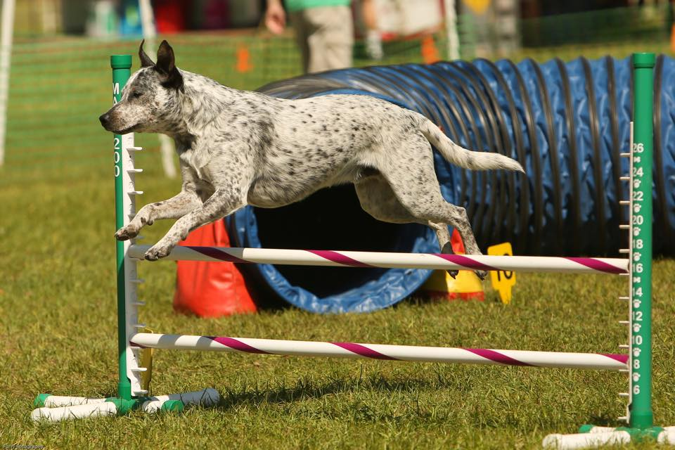 cattly dog jumping in agility race
